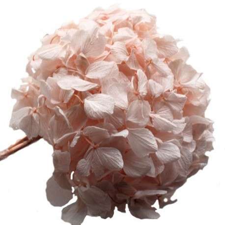Preserved Flowers - Pastel Pink Premium Hydrangea Heads