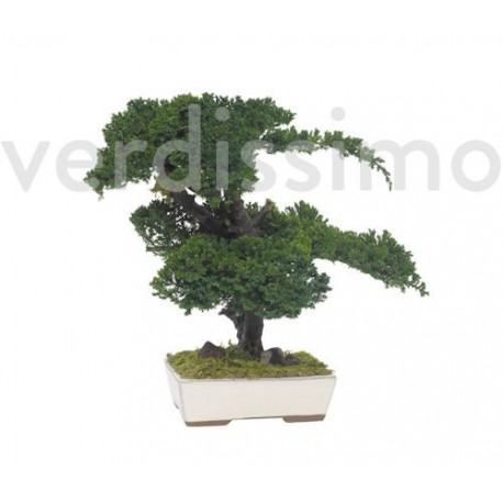 Preserved Juniperus Bonsai
