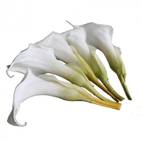 Preservd Flowers - Natural Mini Callas