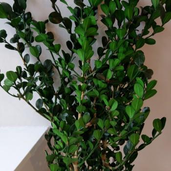 Buxus (Boxwood)
