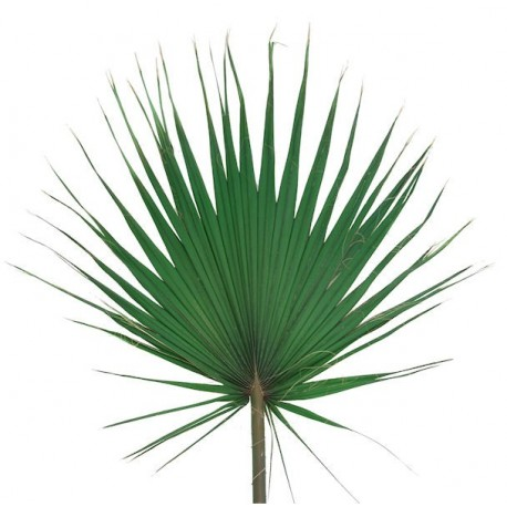 Washingtonia Leaves