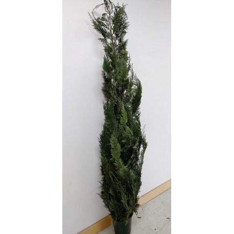 Conifer (Stardust)