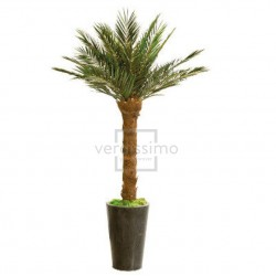 Preserved Phoenix Palm - Tall