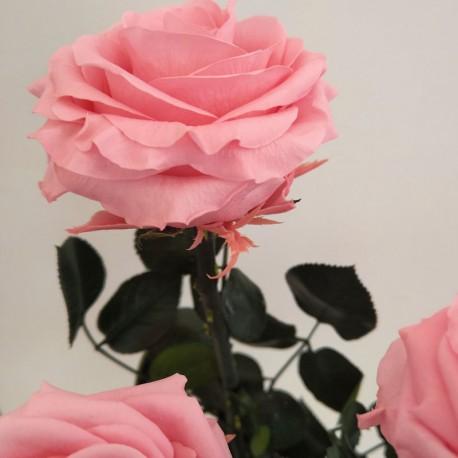 Pastel Pink Super Amorosa, bulk case of 12