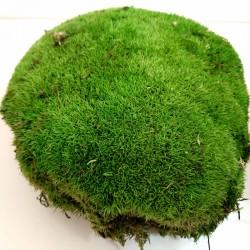Bun Moss Max