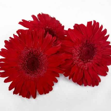 Red standard Gerbera heads