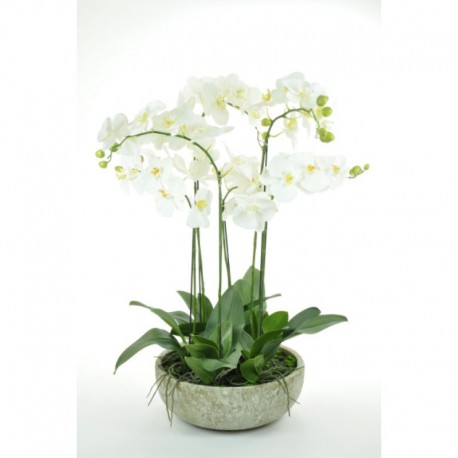 Phalaenopsis Orchid, potted, large