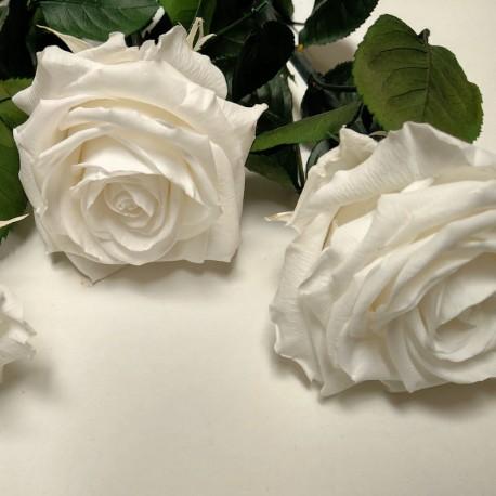 White Super Amorosa Rose case of 12