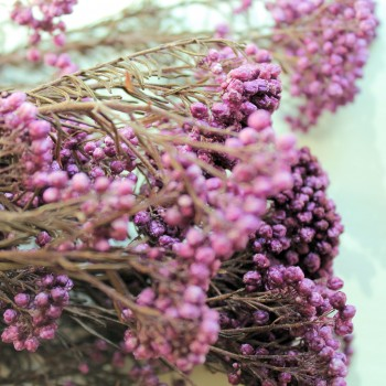 Lilac Rice Flower