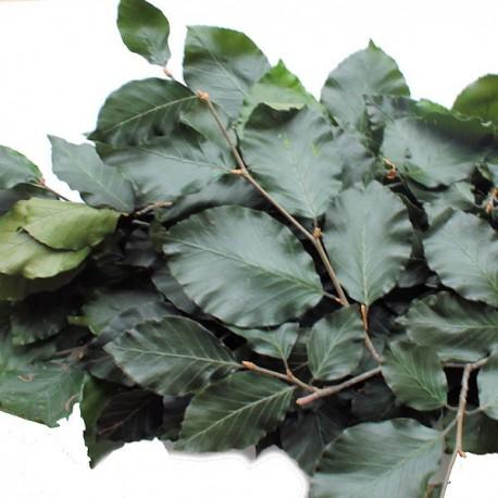 Beech Leaves Green