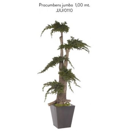 Jumbo Procumbens