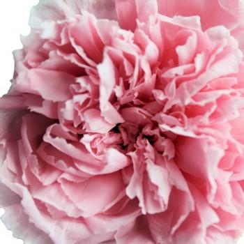Pastel Pink Carnation Heads