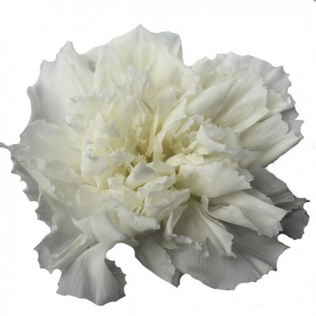 White Carnation Heads