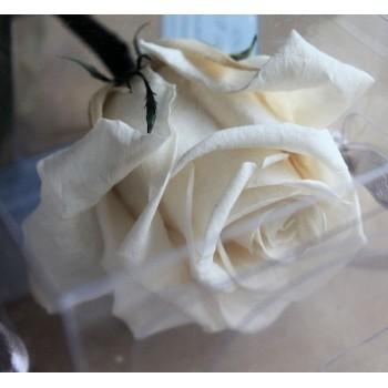 White Amorosa Rose (Tube) Case of 20