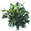 Preserved Ivy