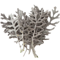 Cinerea Leaves Back in stock