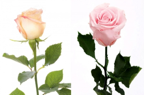 Artificial Roses Verses Preserved Roses